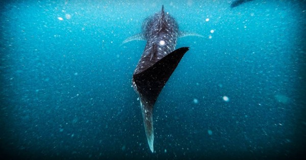 19 Important Donsol Whale Shark Facts You Need to Know