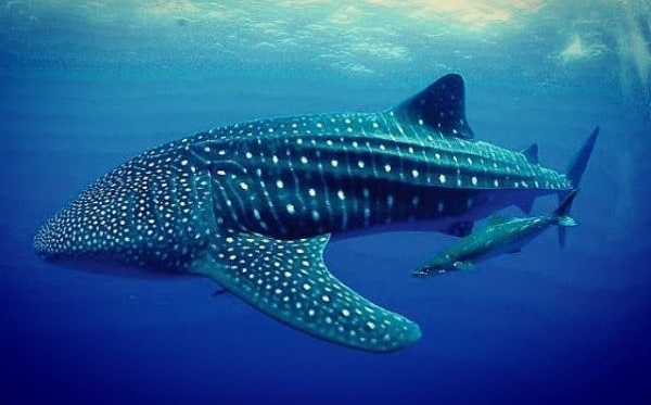 19 Important Donsol Whale Shark Experience Facts You Need to Know | ABrotherAbroad.com